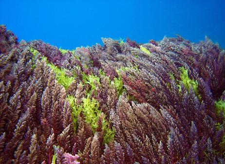 alga-vermelha-sua-importancia
