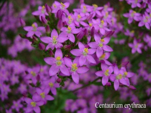 Centaurea_minore
