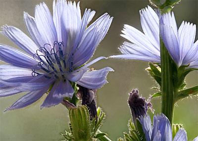 Chicory (1)