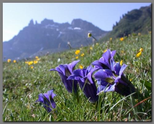 Gentian-Floral
